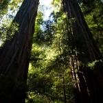 Redwoods tree in Los Gatos